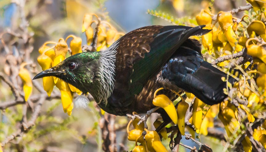 Fiordland rich birdlife - tui on kowhai