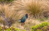 takahe-murchison-mountains-fiordland
